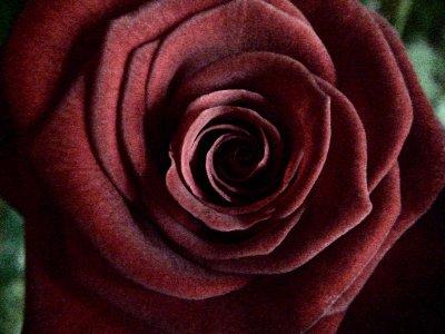 Offrez-vous une rose