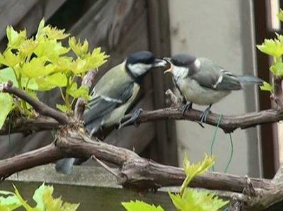 Vidéo : Les jeunes mésanges sortent du nid