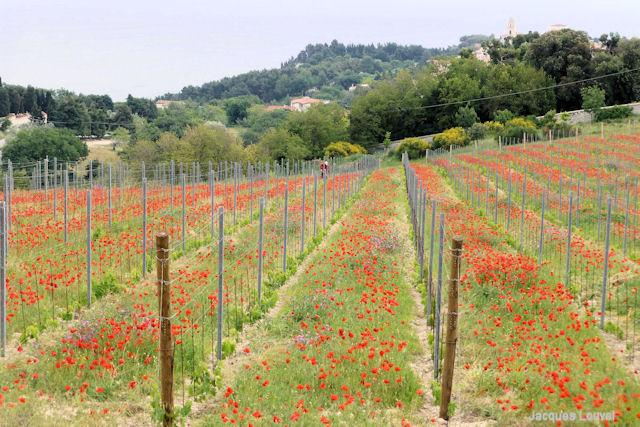 Vignoble de Monte Conero en mai - régions des Marches, Italie
