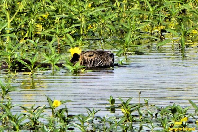 Ragondin dans le marais d'Orx (Landes)