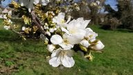 Parc des cerisiers à Argenteuil