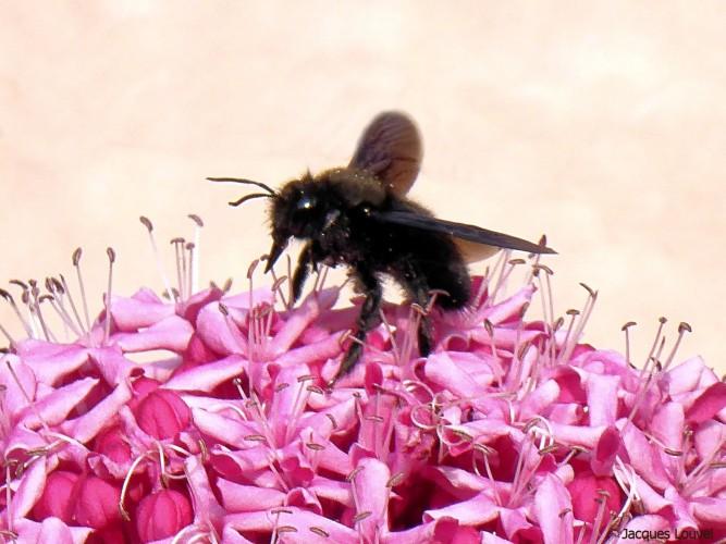 L'abeille charpentière adore le rose
