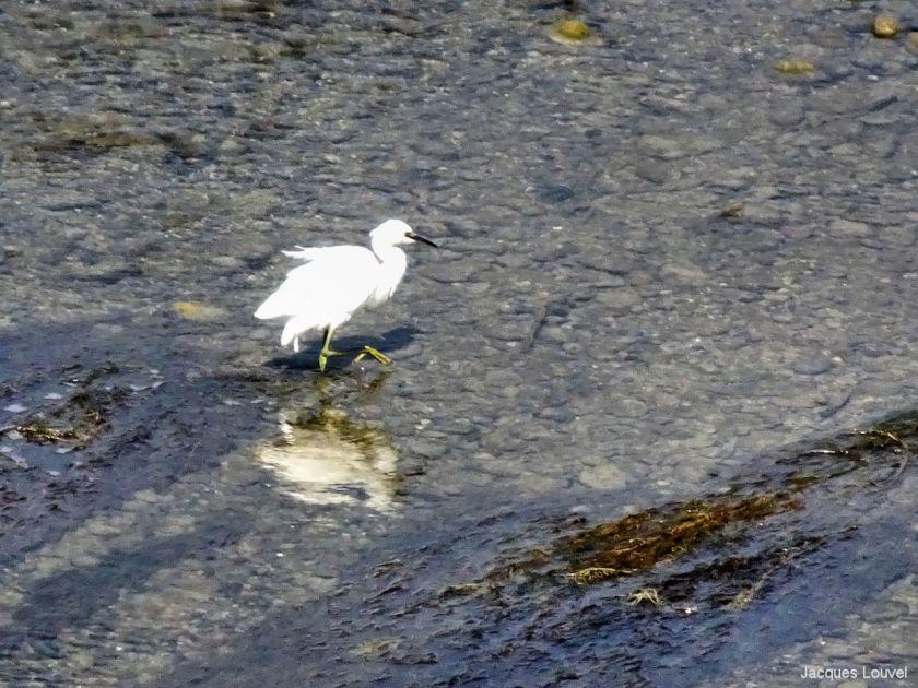 Aigrette en recherche de proie dans la Garonne