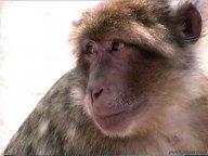 Les macaques de Rocamadour