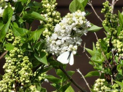 Papillon blanc sur lilas blanc - printemps 2016