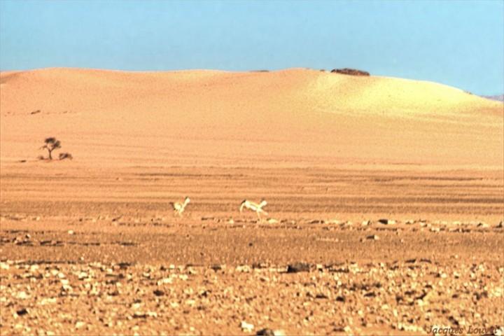 Tassili n'Ajjer : gazelles de Djanet
