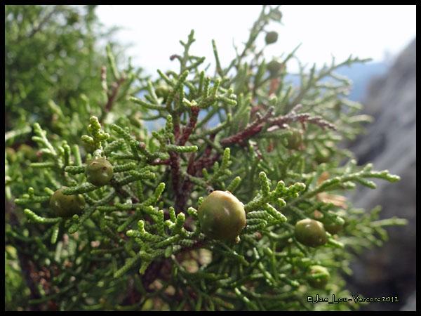 Juniperus sabina - Générvier sabine