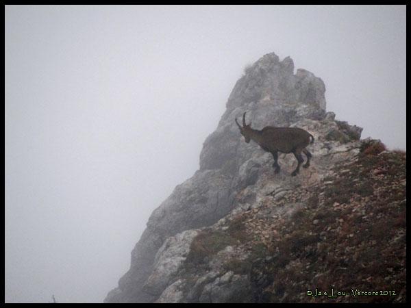 Capra ibex - Bouquetin des Alpes #2